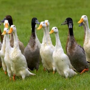 our runner ducks - farm cottages devon
