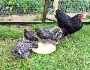 New chickens