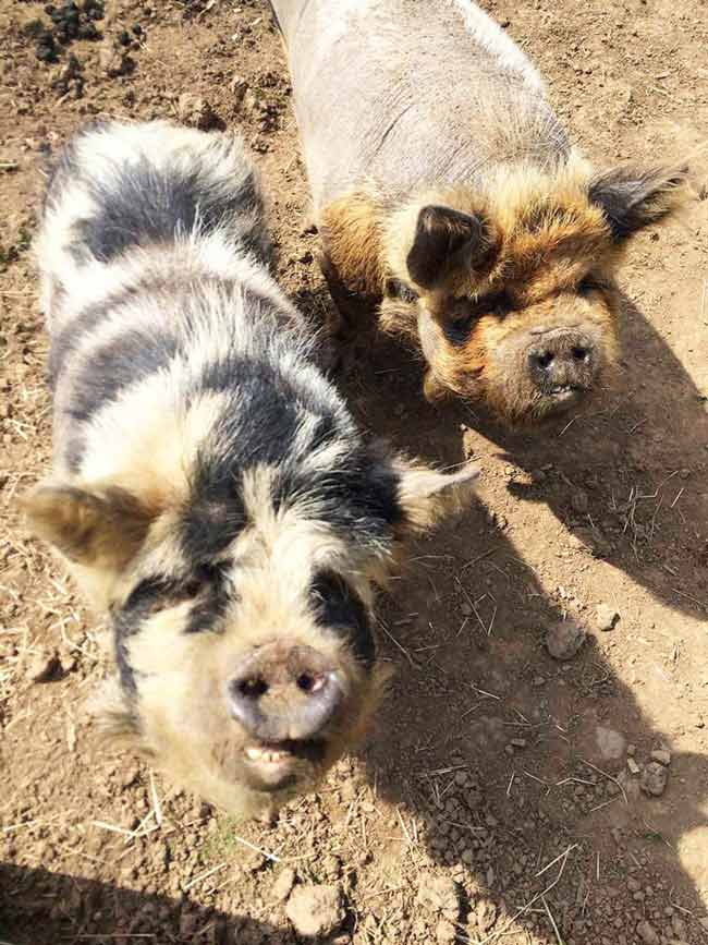 Ruby and Prudence our kune kune pigs